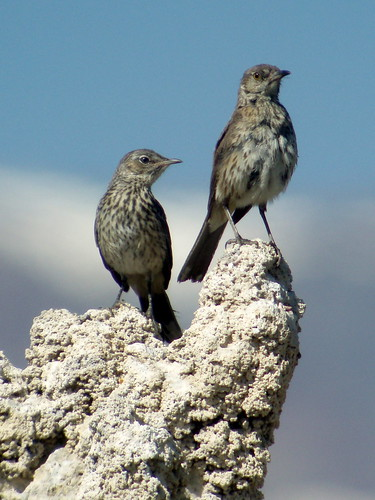 Sage Thrasher, Mono Lake, CA | by Marg Higbee