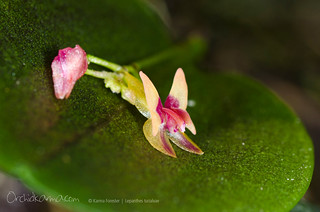 Lepanthes turialvae | by orchidkarma