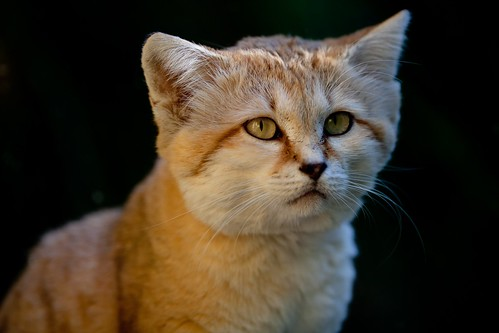 Sand Cat 60 | by RouvenW
