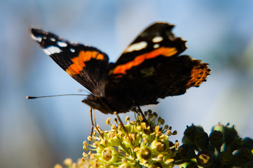 Red admiral butterfly feeding on ivy flower