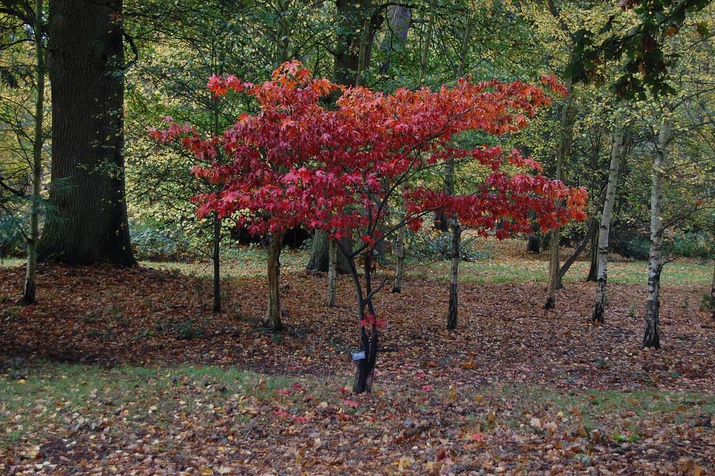 Acer Palmatum Var Heptalobum Osakazuki Basswulf Flickr