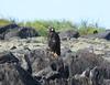 Gavilán de Galápagos, Galapagos Hawk (Buteo galapagoensis) by Francisco Piedrahita