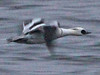 Smew, Talkin Tarn (Cumbria), 27-Feb-12 by Dave Appleton