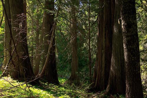 trees idaho stjoenationalforest hobocedargrove idahopanhandlenationalforests
