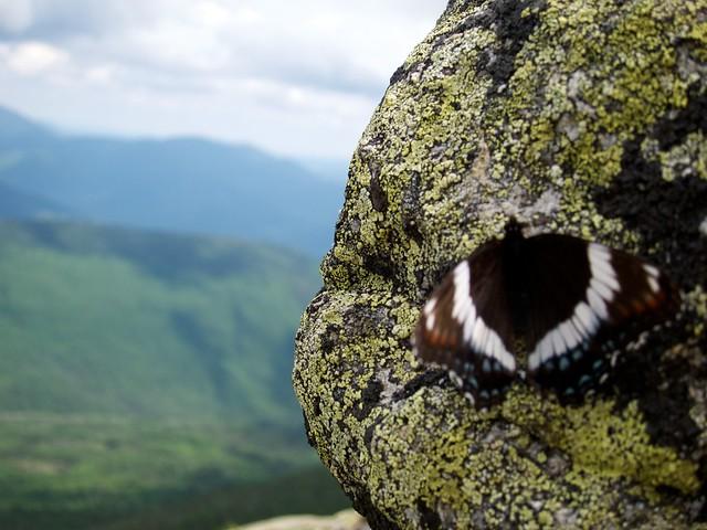 3:57:23 (66%): animal butterfly hiking newhampshire whitemountains franconianotch mtlafayette franconiaridgetrail mtlincoln franconiarange