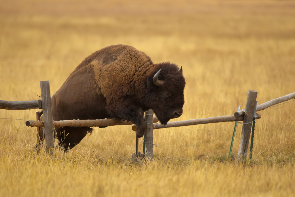 Image result for bison with fence