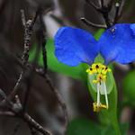 Asiatic dayflower (Matsudo, Chiba, Japan)