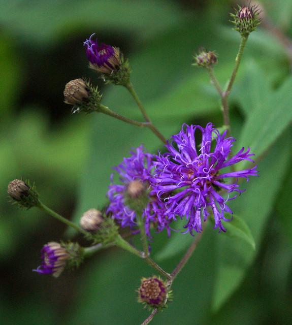 Ironweed (Vernonia sp.)