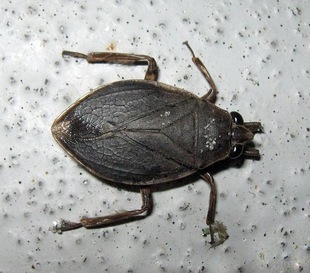 Waterbug    | These large predatory waterbugs can bite painf