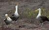 Dance of the Albatross by eric20d