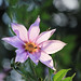Tree Dahlia - Photo (c) tanakawho, some rights reserved (CC BY-NC)
