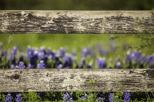 2012 mabrycampbell march texas texashillcountry washingtoncounty blue bluebonnets chappellhill colorimage commercialphotography countryside editorialphotography fence fineartphotography flowers hillcountry horizontallines image intimatelandscape nature nopeople photo photograph photography spring wildflowers wooden f28 march242012 201203246353 200mm ¹⁄₃₂₀₀sec 100 ef200mmf28liiusm fav10 fav20