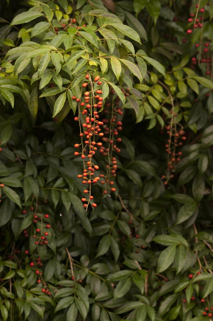 Picramnia pentandra (Bitterbush) | Cultivated, Fairchild Tro… | Flickr