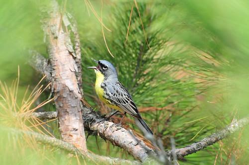 Endangered Kirtland's warbler (Dendroica kirtlandii) | by USFWS Endangered Species