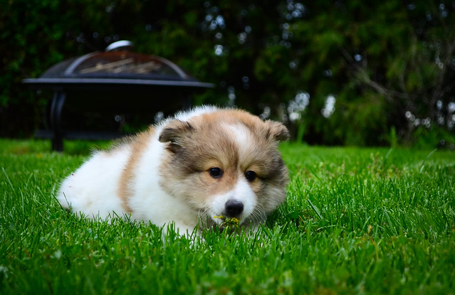 Eskland Pup