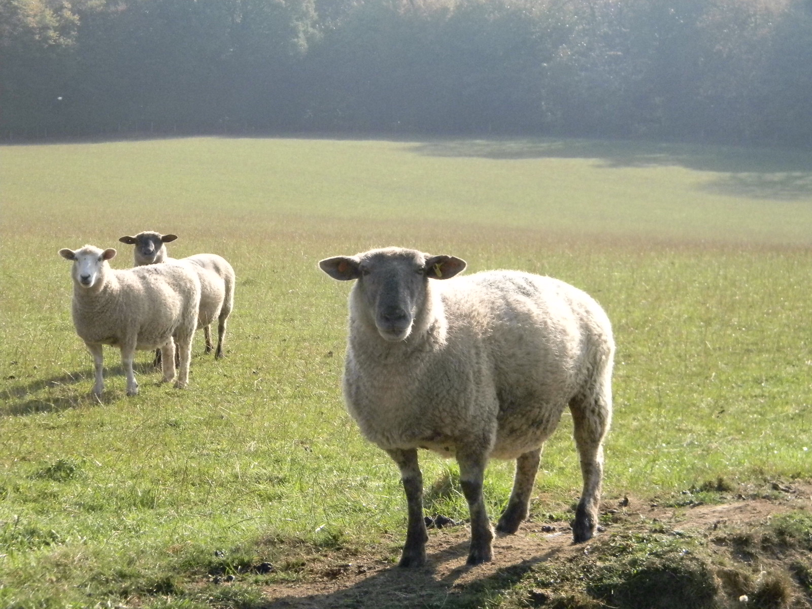 Curious sheep Ham Street to Appledore