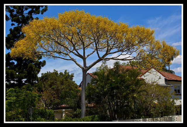Guapuruvu, or Tower tree. - Schizolobium Parahyba-1=