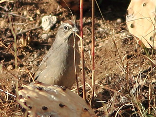 Rufous-crowned Sparrow 20111114   by Kenneth Cole Schneider