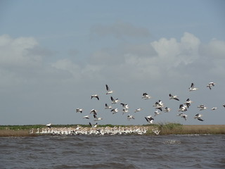 American White Pelicans on Oiled Marsh in Barataria Bay, Louisiana