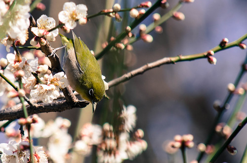 Mejiro (white-eye) loves plum nector | by toshi.sasa