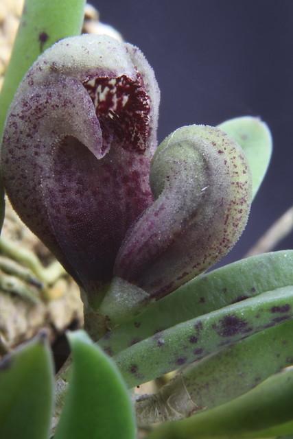 Acianthera sarracenia
