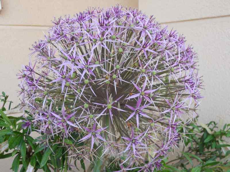 Allium christophii 1