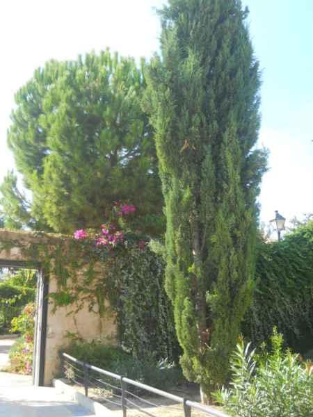 Ciprés y pino