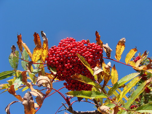 blue autumn red sky color fall beautiful fruit northcarolina fruta lovely rowan blueridgeparkway mountainash rosaceae sorbus transylvaniacounty pisgahlodge