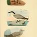 Beitrag zur fauna Centralpolynesiens. Ornithologie der Viti-, Samoa- und Tonga-inseln