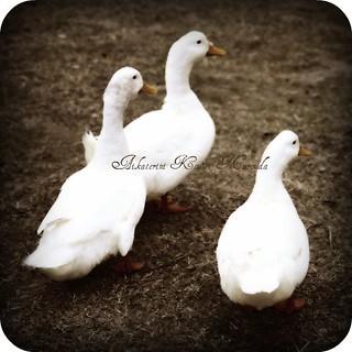 The three goose story   by Aikaterini Koutsi Marouda aka kotsifi