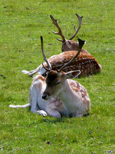 Fallow Deer Bradgate Park Leicestershire