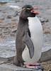 Rockhopper Penguin Eudyptes chrysocome DSC_0530 by Mary Bomford