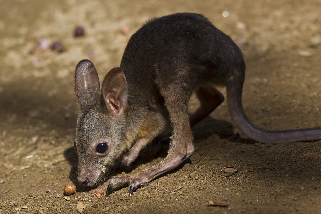 The Little Wallaby Has Shown Remarkable Strength While S Flickr