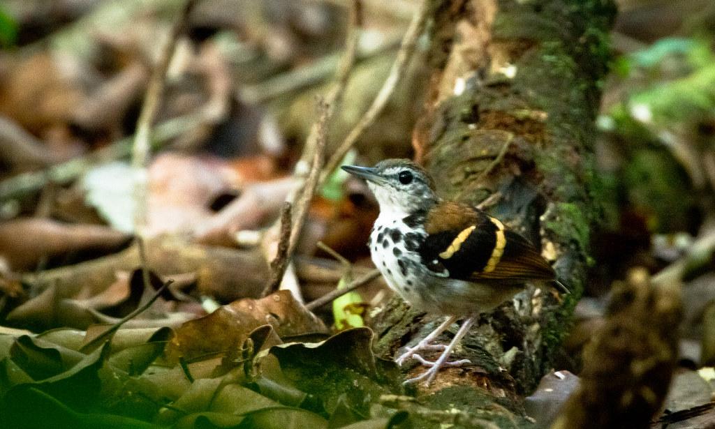 Banded Antbird (Dichrozona cincta)