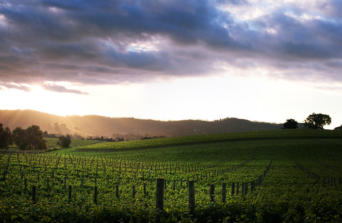 sunset clouds vines nikon niceshot wine australian australia victoria explore posts vinyard grapevines davidyoung dixonscreek flickraward afsnikkor50mm14g flickraward5