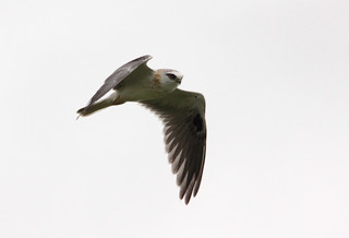 Black-shouldered Kite | by boombana