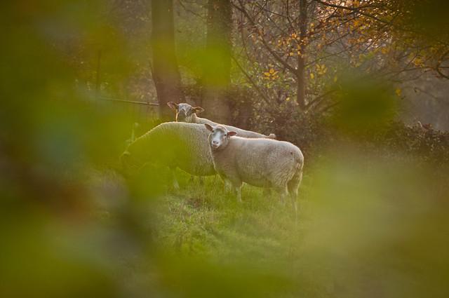Des moutons sonnent à ma porte - © P.F