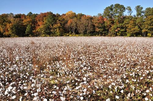 sc field south cotton crop carolina
