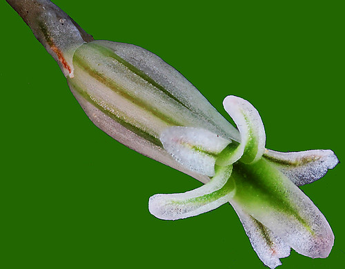 Haworthia parksiana flower | by Cactipal