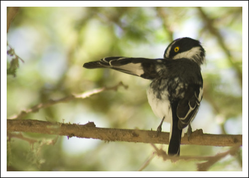Black-headed Batis