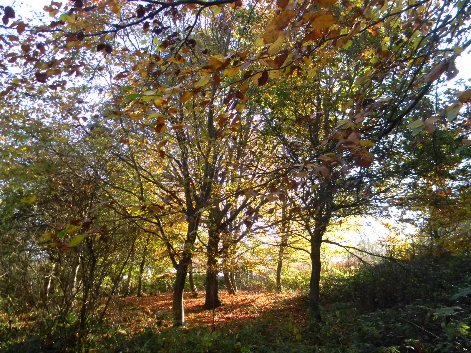 Autumn trees Cowden (short) Circular