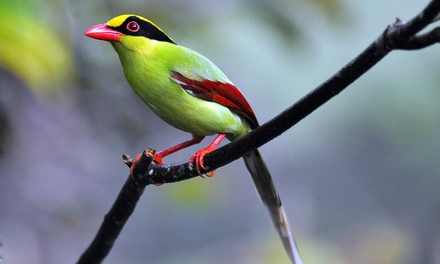 Green Magpie - (Cissa chinensis)Jelai Resort Fraser Hill