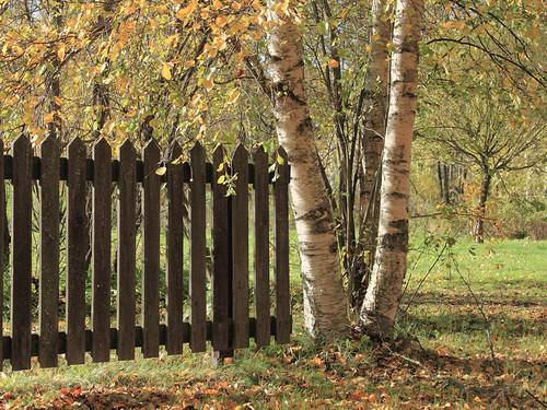 autumn fence finland birch birchtrees
