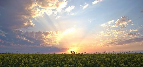 sunset sun tree ngc barossa canola rapeseed firedoc02
