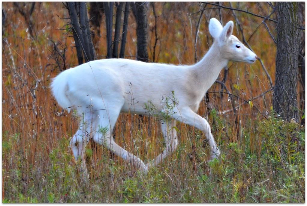 White White-tailed Deer - fawn - nature - wildlife - animal - autumn