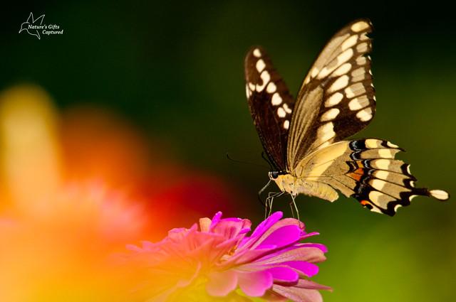 Yellow Swallowtail multi-color BG