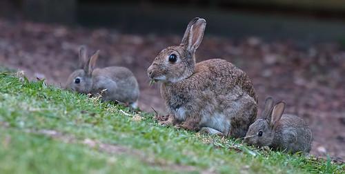 Three rabbits   by dicktay2000