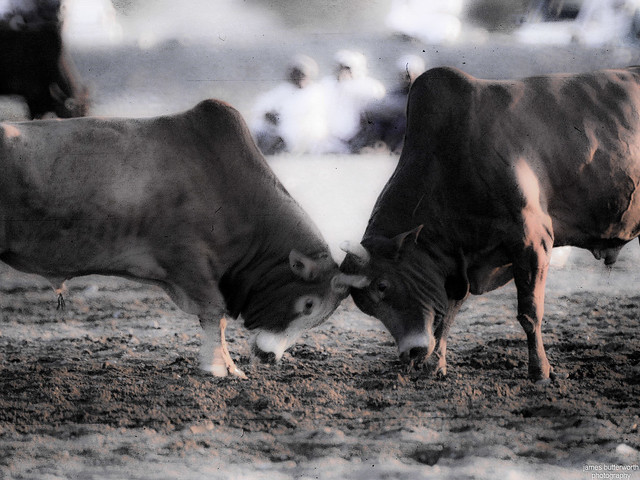 Bull Fighting in Oman 2