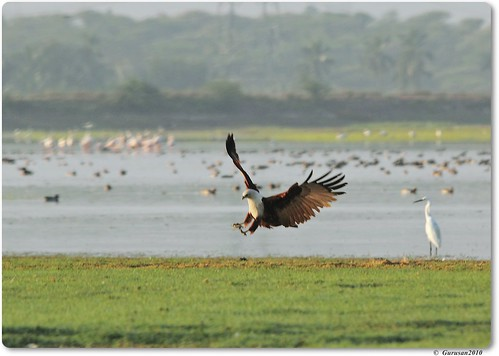 Brahminy Kite | by Gurusan2010