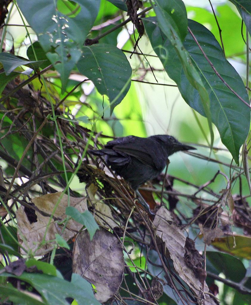 Blackish Antbird (Cercomacra nigrescens)